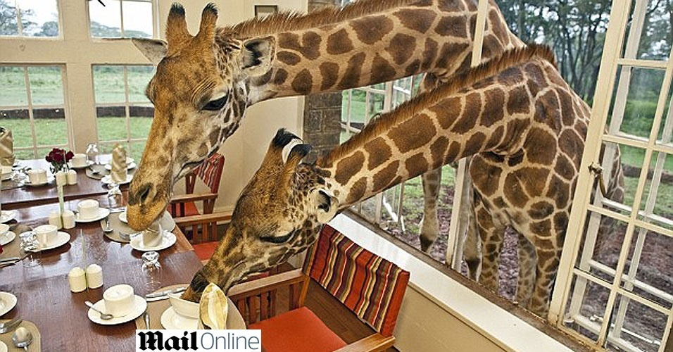 Hotel queniano recebe visita pescoçuda de girafas para o café-da-manhã