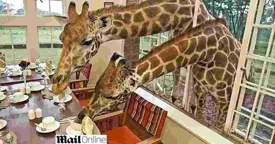 Hotel queniano recebe visita pescoçuda de girafas para o café-da-manhã - Reprodução/Daily Mail