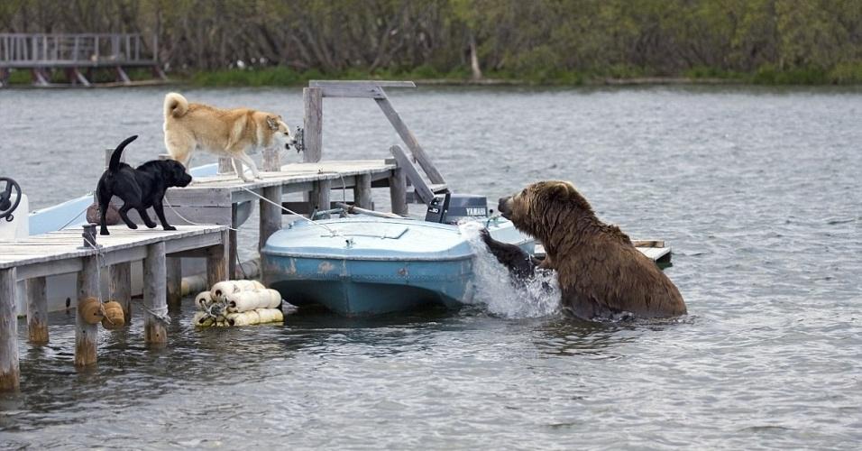 jul.2012 - Em dia de Davi, um labrador e um akita vencem o desafio e espantam um urso pardo gigante, o Golias da vez, que tentava fazer de lata de sardinha um barco ancorado no lago Kurile, região de Kamchatka, na Rússia