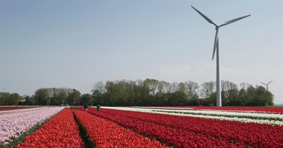 Tulipas e moinho na província de Noord-Holland