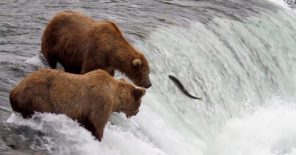 26.julho.2012 - O site Explore disponibilizou nesta semana imagens ao vivo de ursos marrons que vivem no parque nacional Katmai, no Alasca. Esses ursos percorrem uma extensão de 1,6 Km no rio Brooks em busca de salmão, segundo o site do projeto - para assistir ao vídeo, clique em MAIS