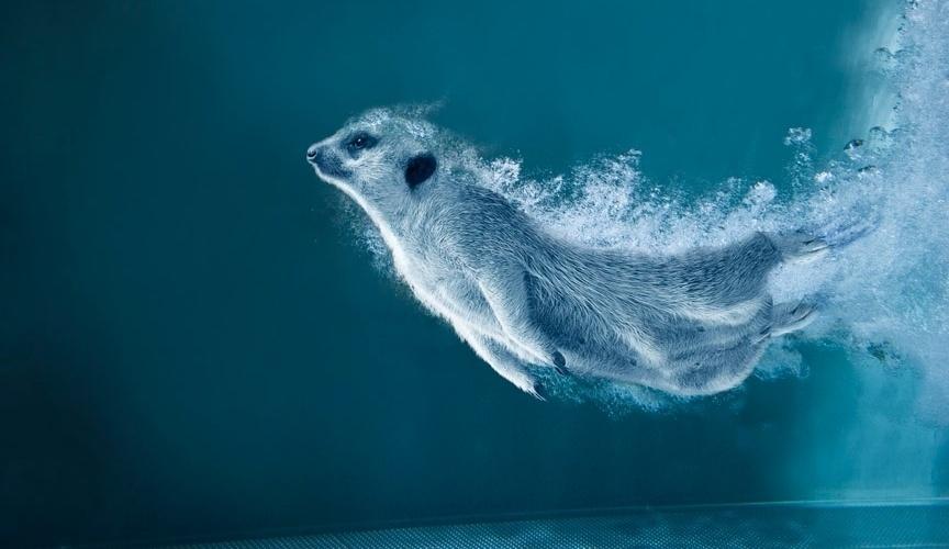 Calendário dos suricatos radicais: mergulho