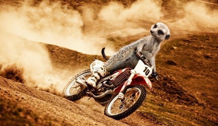 Calendário dos suricatos radicais: motociclismo