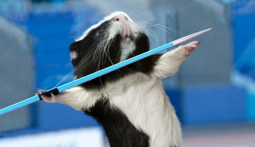 Calendário Olimpíadas dos Porquinhos da Índia: Arremesso de dardo