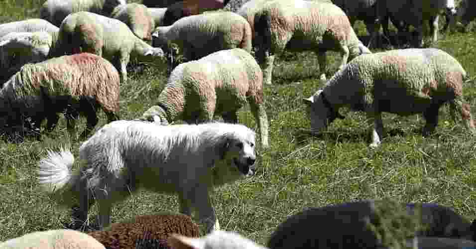 31.jul.2012 - Cachorro da raça great pyrenees (o cão de montanha) é utilizado para prevenção de ataques de lobos a ovelhas em fazenda suíça, na região de Les Diablerets (Suíça) - Denis Balibouse/Reuters