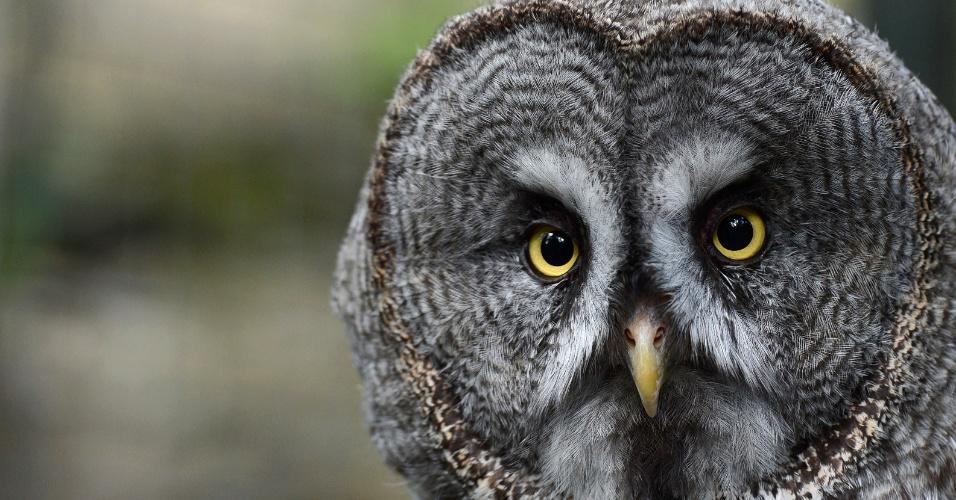 31.jul.2012 - Grande coruja cinzenta em seu recinto no Jardim Zoológico de Berlim, na Alemanha