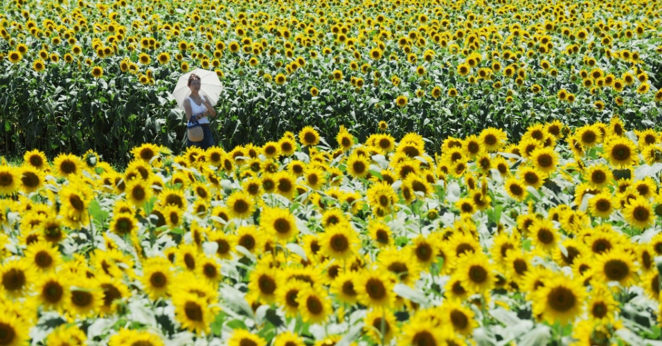31.jul.2012 -  Mulher caminha entre milhões de girassóis durante o Festival de Girassol em Zama, em Kanagawa