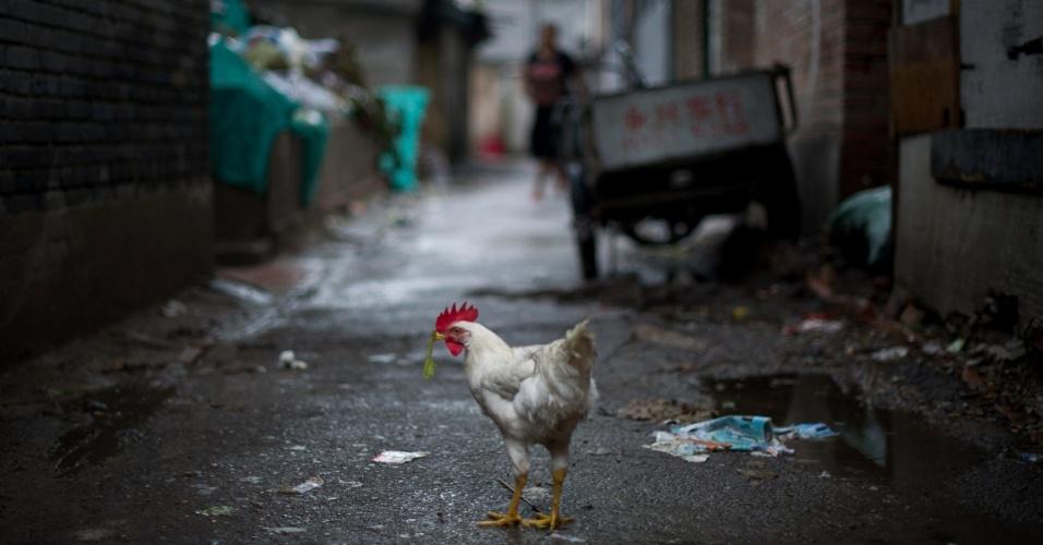 31.jul.2012 - Um galo se alimenta em um beco de Pequim, na China