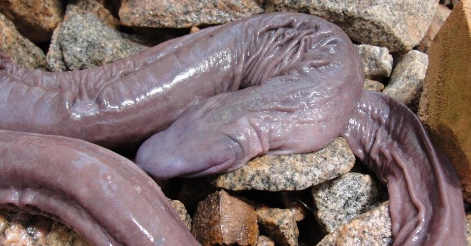 """01.ago.2012 - Exemplar da espécie """"Atretochoana eiselti"""", anfíbio raro encontrado em Rondônia"""