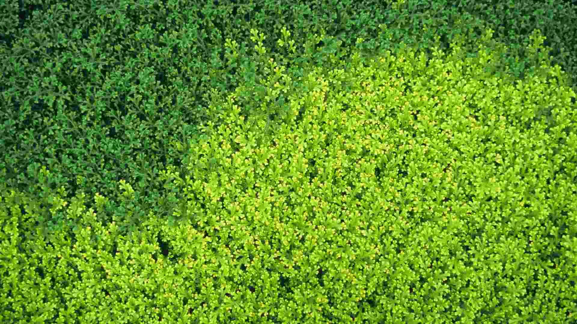 Espécies utilizadas em interiores: Selaginella kraussiana (musguinho) ? ótima para forração de vasos e canteiros à sombra, possui folhas muito delicadas. Gosta de locais úmidos, mas não encharcados - Getty Images