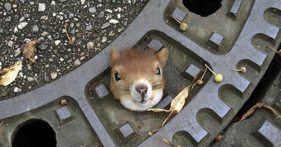 6.ago.2012 - Fotografia divulgada nesta segunda-feira pela polícia de Isenhagen, na Alemanha, mostra um esquilo que foi encontrado preso em um bueiro, no domingo (5). O animal foi resgatado e passa bem