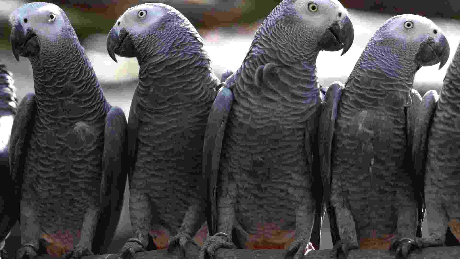 Papagaios cinzentos - Reuters/Edward Echwalu