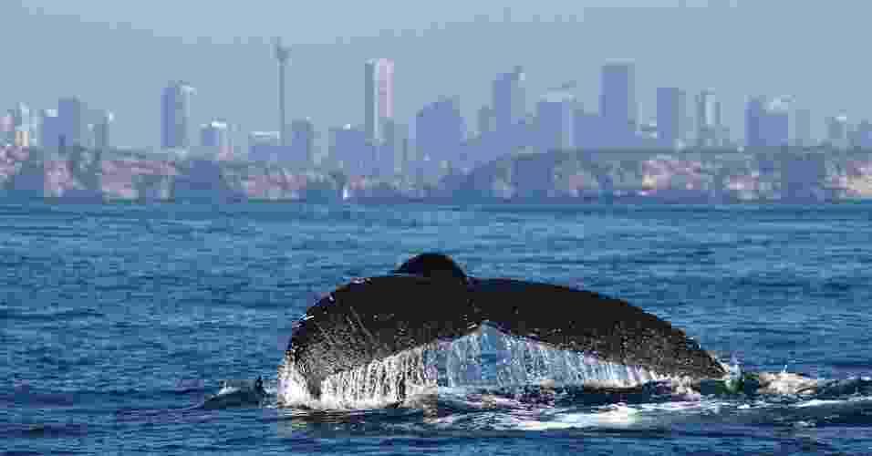 Todos os anos, uma procissão de baleias-jubarte passa pela costa leste da Austrália em uma migração de 10 mil km, iniciada nas águas geladas da Antártida - Whale Watching Sydney