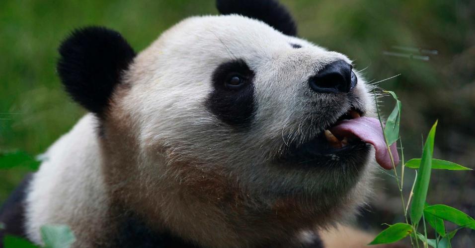 14.ago.2012 - Yang Guang, um panda gigante, lambe um folha de bambu no dia em que ele completa 9 anos, no zoológico de Edinburgo, na Escócia
