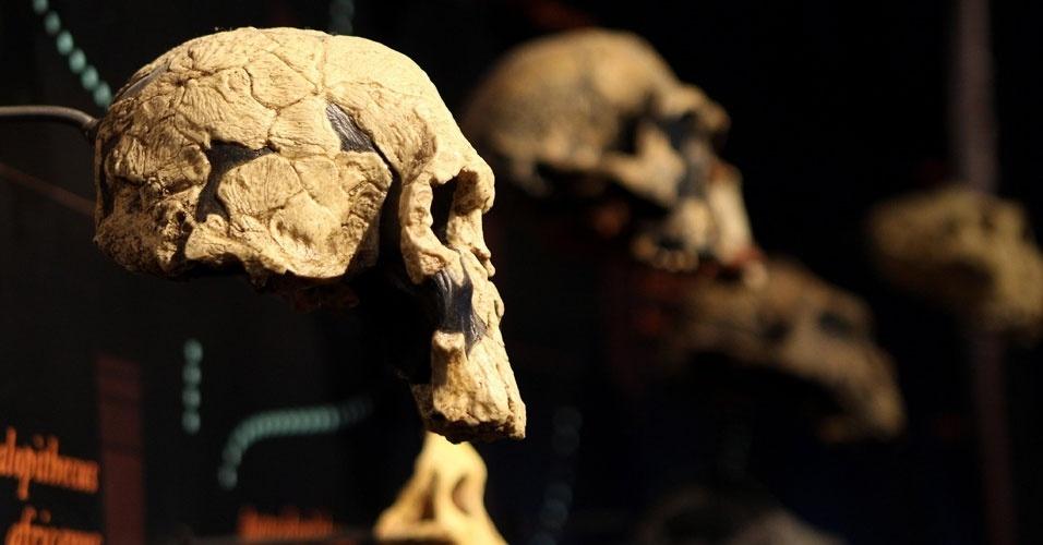 """17.ago.2012 - Crânios fazem parte da mostra """"Exposição Darwin"""" em Bogotá, na Colômbia. A exposição mostra a vida e obra do cientistas inglês que revolucionou a forma o pensar sobre a origem das espécies, marcando um antes e depois na biologia moderna"""