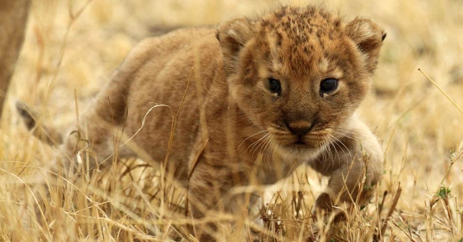 19.ago.2012 - Filhote de leão dá seus primeiros passos diante do público no Parque Nacional de Serengetim, na Tanzânia