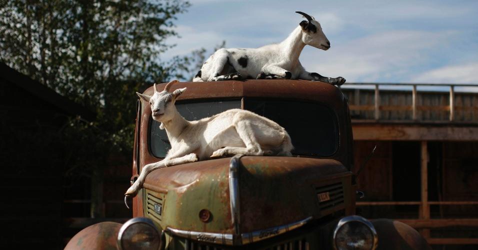 20.ago.2012 - Cabras sentam em carro antigo em Yukon, oeste do Canadá