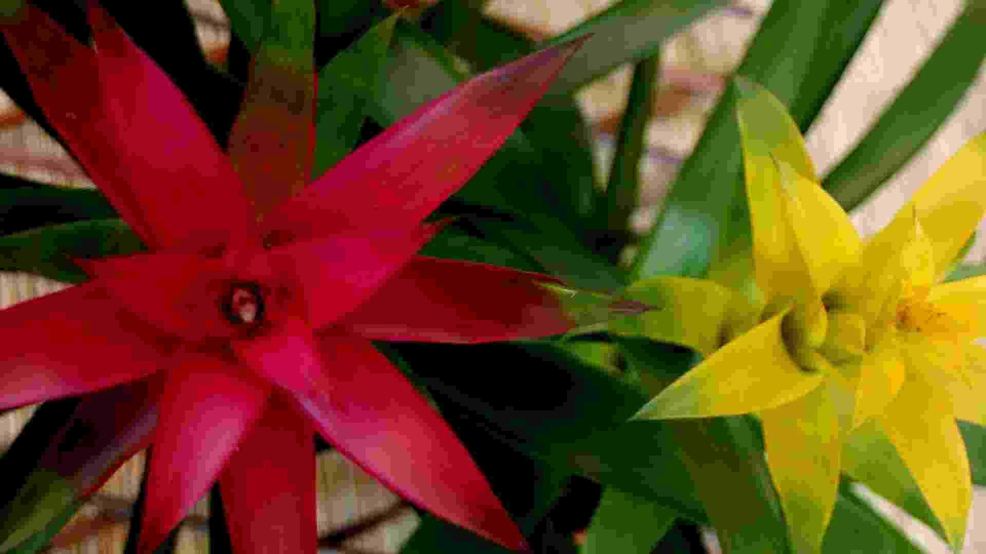 Bromélias de diversos tipos são plantas típicas da Mata Atlântica. Epífitas, as bromélias - Rogerio Cassimio/Folhapress