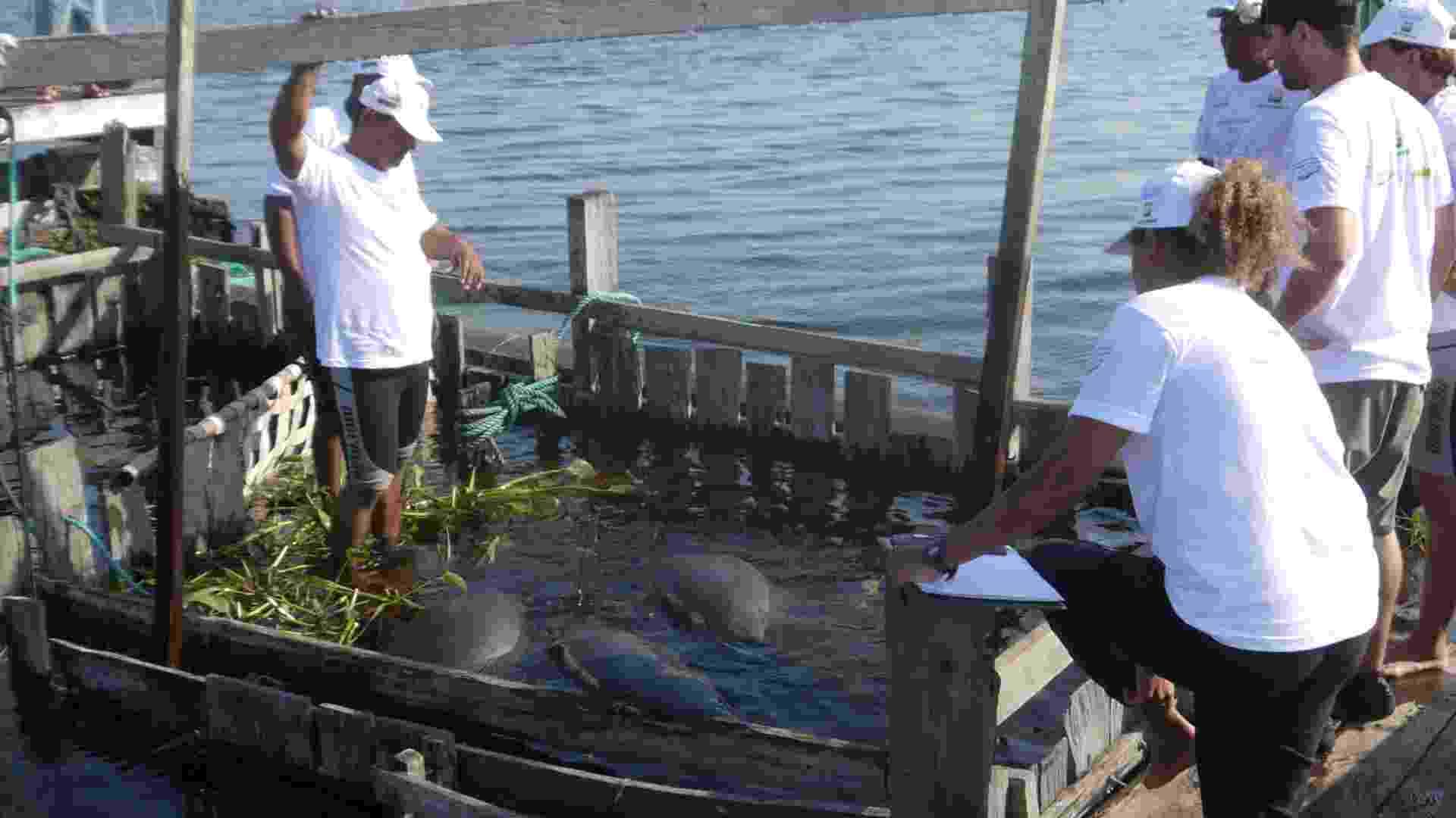 18.ago.2012 - Cinco peixes-boi são devolvidos a igarapés e lagos da Reserva de Desenvolvimento Sustentável Amanã, que fica na região do Médio Rio Solimões, no Amazonas. Com idade entre 2 e 5 anos, os animais foram vítimas da caça e viviam havia quatro anos em cativeiro do Centro de Reabilitação de Peixe-Boi Amazônico de Base Comunitária. Quatro deles receberam em suas caudas um cinto equipado com um transmissor de sinais de rádio para que a equipe possa monitorá-los nos próximos dois anos - Divulgação