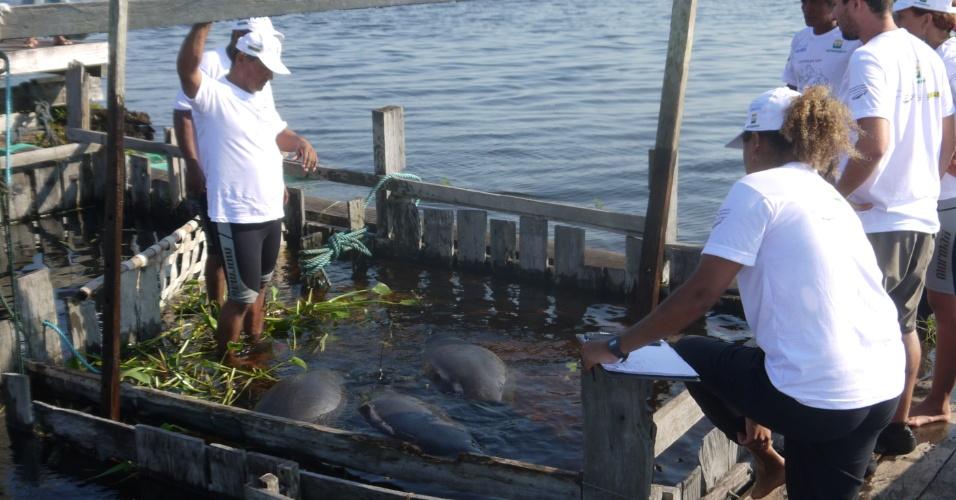 18.ago.2012 - Cinco peixes-boi são devolvidos a igarapés e lagos da Reserva de Desenvolvimento Sustentável Amanã, que fica na região do Médio Rio Solimões, no Amazonas. Com idade entre 2 e 5 anos, os animais foram vítimas da caça e viviam havia quatro anos em cativeiro do Centro de Reabilitação de Peixe-Boi Amazônico de Base Comunitária. Quatro deles receberam em suas caudas um cinto equipado com um transmissor de sinais de rádio para que a equipe possa monitorá-los nos próximos dois anos
