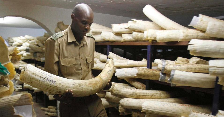 22.ago.2012 - Funcionário do parque nacional do Zimbábue, em Harare, verifica presas de marfim  guardadas em armazém. O governo anunciou nesta quarta-feira (22) que vai pedir autorização ao orgão internacional que regula este comércio para leiloar o material. O país alega ter 50 toneladas de marfim que foram confiscadas de caçadores ou recuperadas após mortes dos elefante