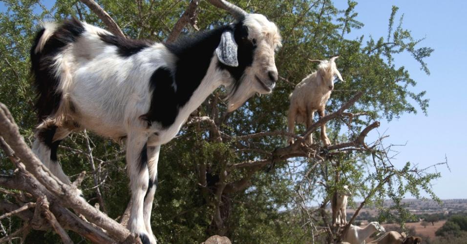 27.ago.2012 - Foto tirada neste domingo (26) mostra cabras subindo em uma árvore na região de Essaouira, Marrocos, para comer o fruto local argan. Elas se equilibram em galhos