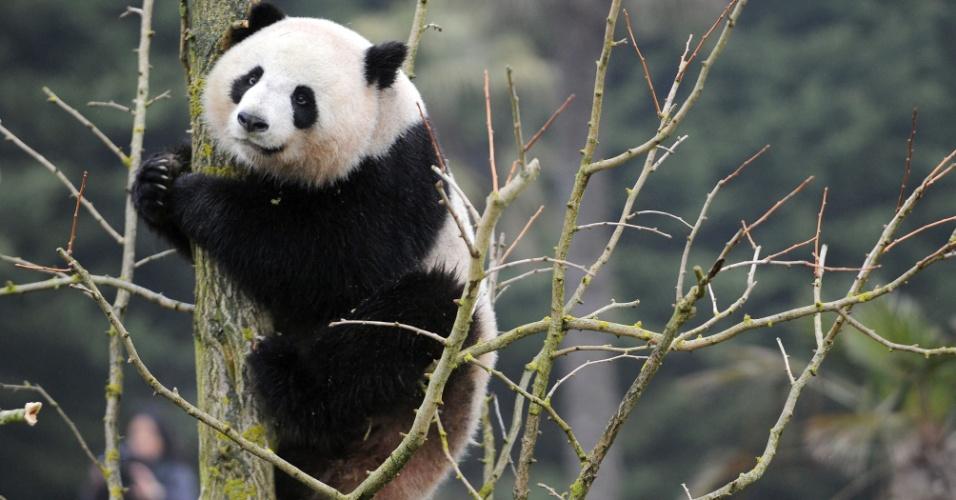 29.ago.2012 - Panda gigante fêmea Huan-Huan sobe em árvore no zoológico Beauval, em Saint-Aignan, na França. Ela é uma das recém-chegadas da China ao local
