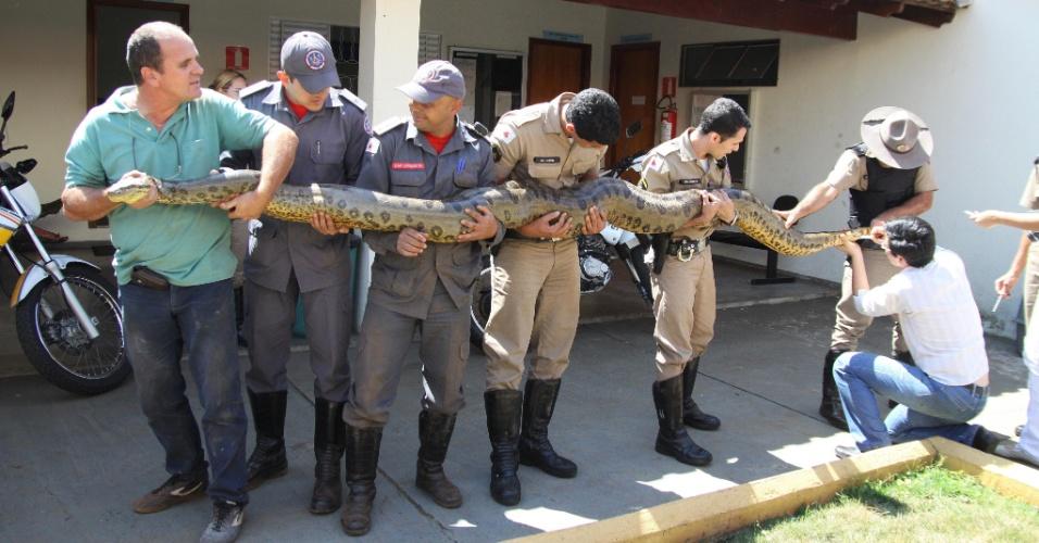 29.ago.2012 - Uma sucuri de 4,3 metros de comprimento foi capturada nesta quarta-feira (29) pela Polícia Ambiental e pelos Bombeiros de Minas Gerais, em uma área da Vale Fertilizantes, na cidade de Uberaba (MG)