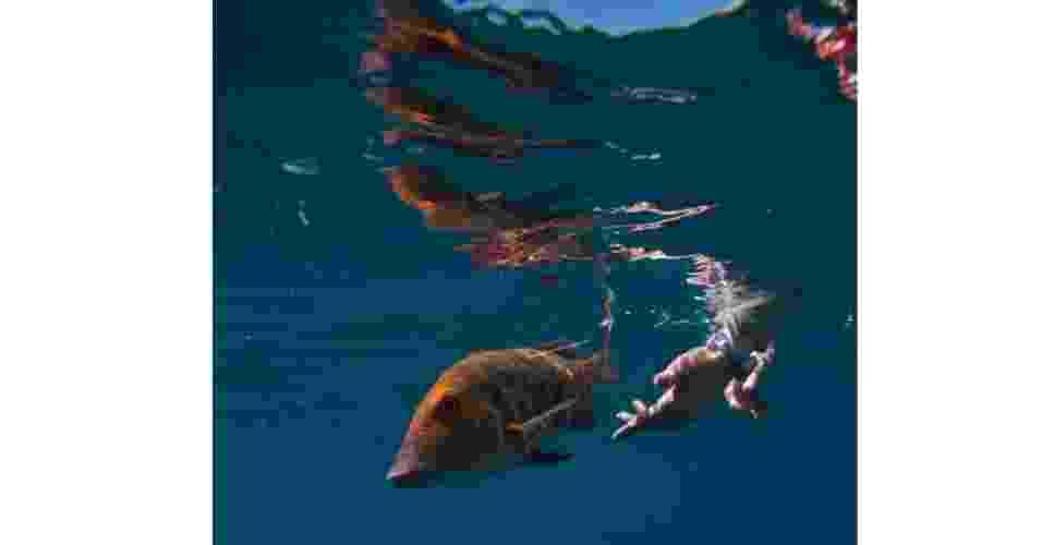 A imagem do dr. Dave Abdo capta o lançamento de um peixe imperador-trompeta (lethrinus miniatus) ao mar, pouco após ele ter sido submetido a uma cirurgia para implantar um rastreador sonoro. Ele foi solto na Ilha de Heron, na Austrália, na região conhecida como Grande Barreira De Corais . A pesquisa visa conhecer os padrões de movimentação do peixe em relação às mudanças ambientais e em relação à eficácia das áreas de proteção marinha na região - Dave Abdo
