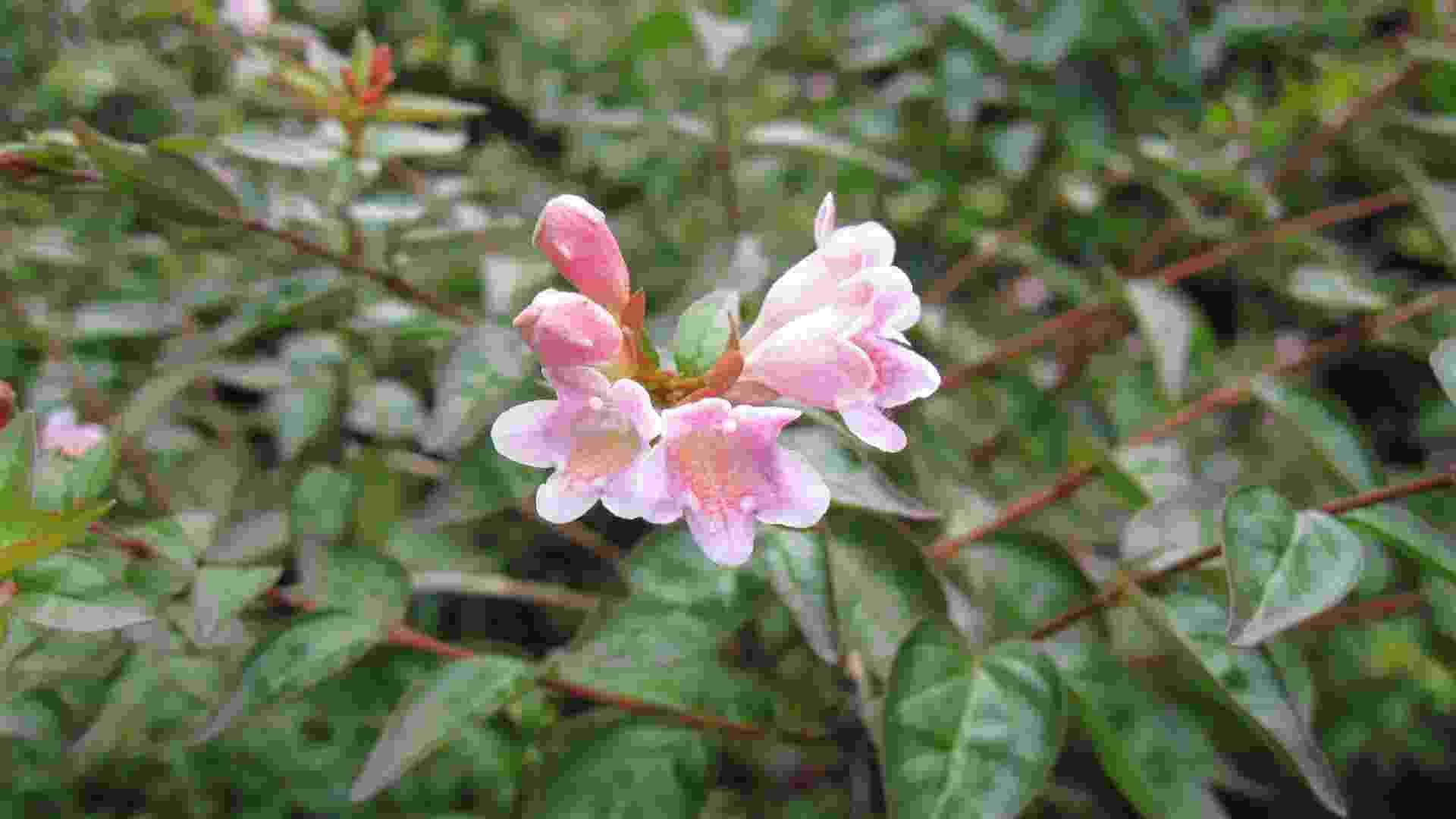 Abelia grandiflora (abélia): é um arbusto semi lenhoso que chega a atingir 2,5 m de altura. Com folhas brilhantes e flores brancas em cachos, possui suas sépalas (parte de trás das flores) na cor vinho. A variedade floresce abundantemente no verão e outono e suporta climas quentes e regiões de inverno rigoroso. Existe uma variedade de flores rosa (foto), menos utilizada, com menor quantidade de flores, mas igualmente bela - Heloiza Rodrigues – A Prima Plantarum/ Divulgação