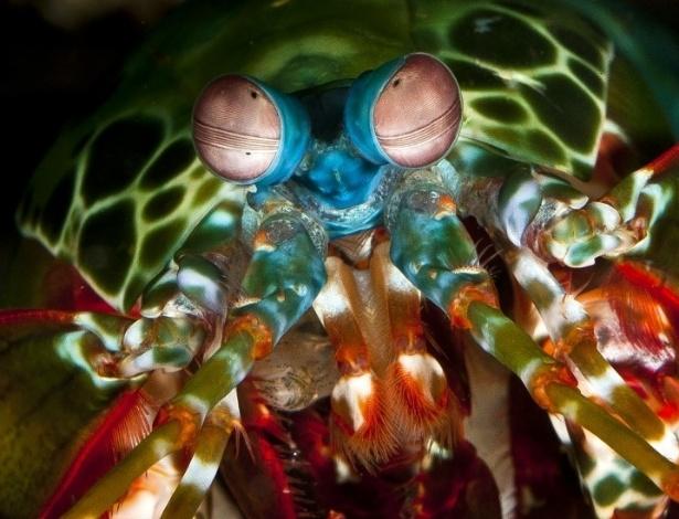 O camarão mantis (odontodactylus scyllarus), que pode ser encontrado possui o mais complexo sistema de visão do mundo marinho. na Grande Barreira de Corais da Austrália - Gary Cronitch