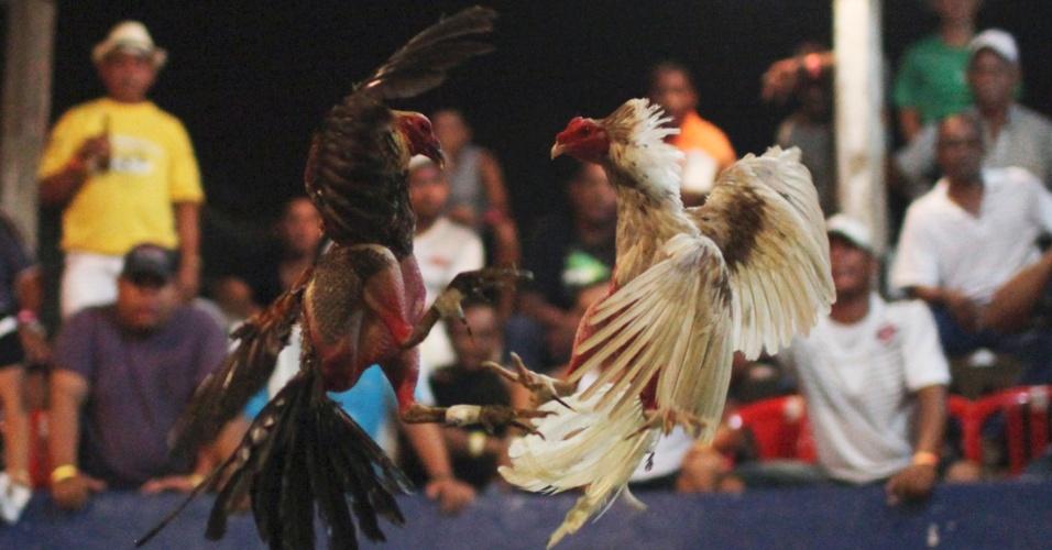 2.set.2012 - Galos brigam durante rinha em Cartagena, na Colômbia