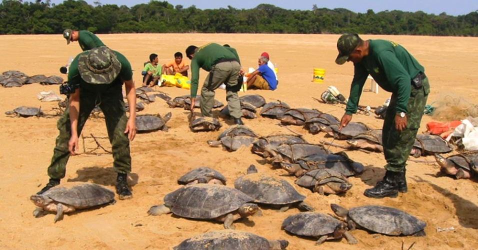 04.set.2012 [ foto de arquivo] - Agentes do Ibama (Instituto Brasileiro do Meio Ambiente e dos Recursos Naturais) liberam tartarugas na floresta amazônica. Cerca de 327 animais foram apreendidos com caçadores apenas em dezembro de 2011
