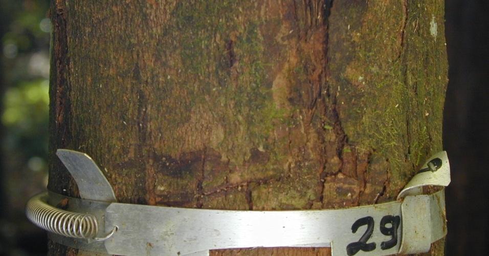 04.set.2012 [ foto de arquivo] - Árvores da Floresta Nacional do Tapajós, em Santarém, no Pará, são catalogadas por engenheiros florestais do Ipan (Instituto de Pesquisa Ambiental da Amazônia)