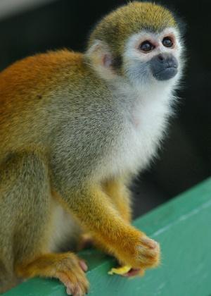 04.set.2012 [ foto de arquivo] - Macaco de cheiro busca frutas com clientes de hotéis na região do Parque Nacional do Rio Negro, no Amazonas