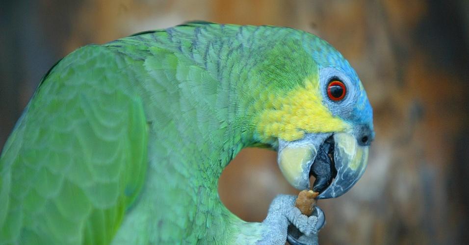 04.set.2012 [ foto de arquivo] - Papagaio ganha frutas de turistas do Parque Nacional do Rio Negro, no Amazonas