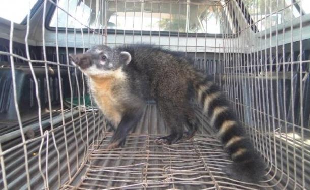5.set.2012 - Policiais militares ambientais encontraram um quati no quintal de uma casa no Jardim Tropical II, em Campo Mourão, Paraná. O mamífero foi atendido pelo veterinário e solto no Parque Estadual Lago Azul Polícia Ambiental/Divulgação