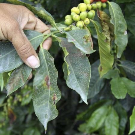 A safra brasileira de arábica representa cerca de 77% do café produzido no país - Jonh Jairo Bonilla/Reuters