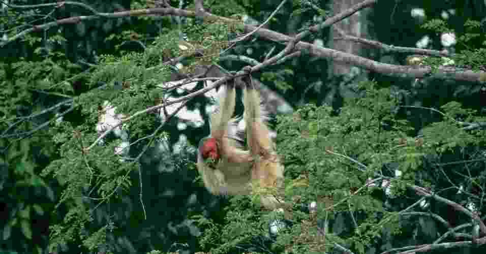 o primata uacari-da-mata - Luiz Claudio Marigo/CI/Divulgação