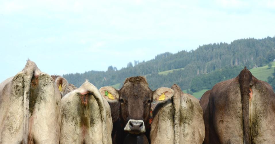 11.set.2012 - Vacas caminham em pasto próximo à vila de Bad Hindelang, nos alpes alemães
