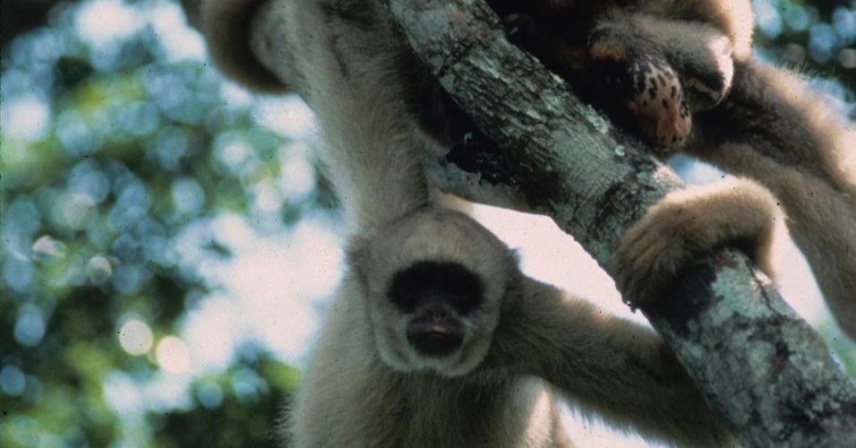 12.set.2012 - O macaco Muriqui-do norte (foto), encontrado desde o sul da Bahia a parte do Paraná, é considerado o maior primata do continente americano, mas está ameaçado pelo desmatamento e pela caça ilegal