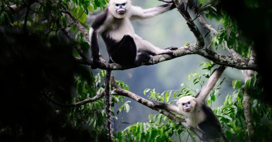 12.set.2012 - Os cientistas temem que não seja possível salvar as espécies porque não se considera que elas trazem benefícios óbvios para a sociedade humana. Na imagem, o macaco Rhinopithecus avunculus, do Vietnã