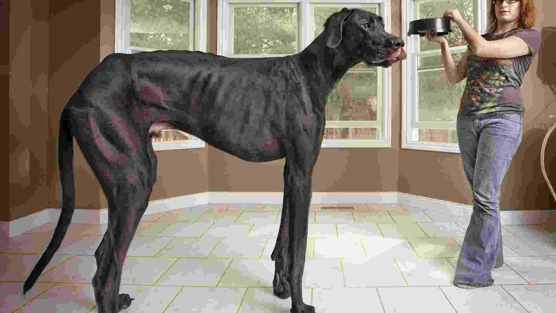 13.set.2012 - Um cão dinamarquês que vive na cidade de Otsego, em Michigan, nos Estados Unidos, foi eleito pelo Guiness Book como o cão mais alto do mundo.O animal, chamado de Zeus, tem três anos de idade e mede 1,12 m de altura - Efe