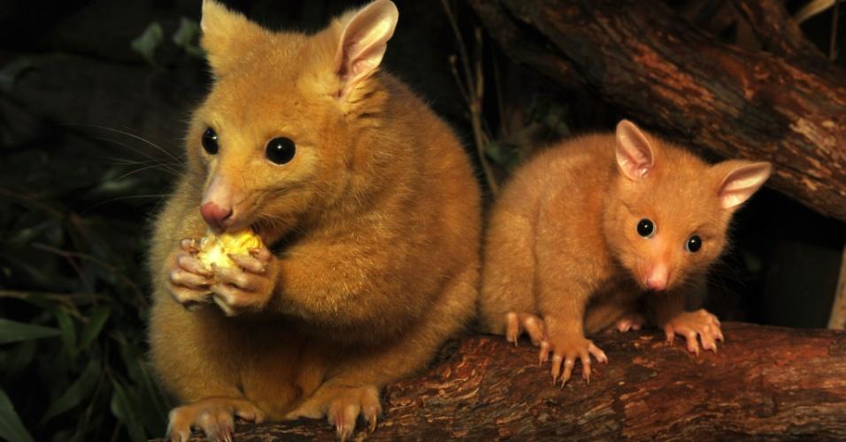 14.set.2012 - Com cinco meses vida, um gambá dourado chamado de Cooper (dir) observa sua mãe Cascade no zoológico de Sydney, na Austrália