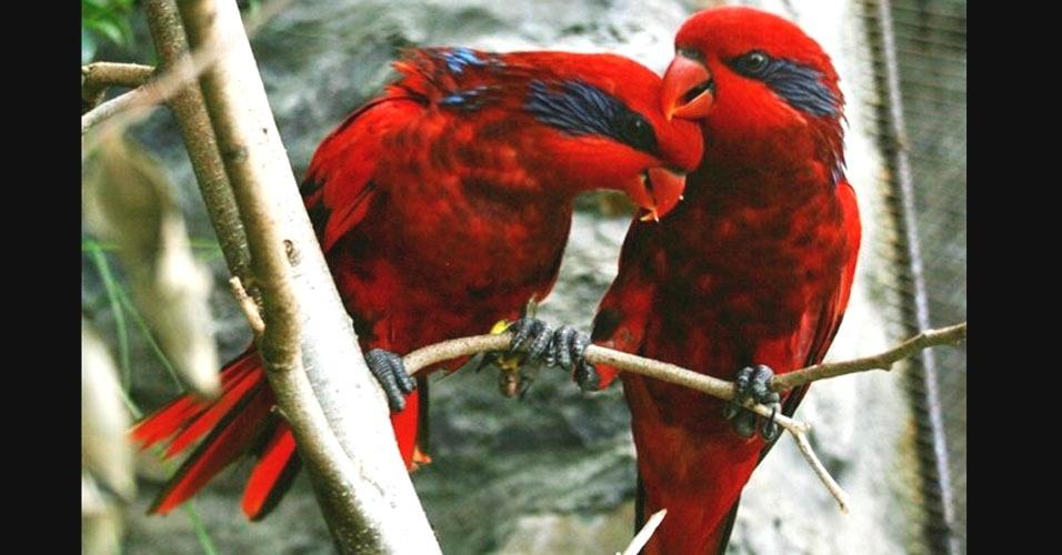 14.set.2012 - Imagem divulgada nesta sexta-feira (14), mostra pássaros vermelhos, de origem australiana e difíceis de se reproduzir em cativeiro, que nasceram no zoológico de Oviedo, na Espanha