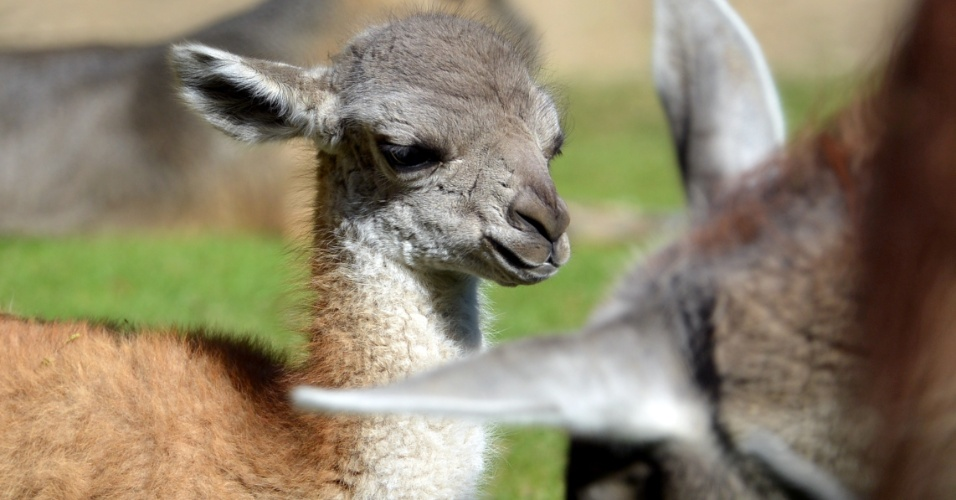 14.set.2012 - Um guanaco de cinco dias de vida é flagrado em zoológico de Berlin, na Alemanha. O animal, que nasceu no último dia 8 de setembro, pesa apenas 10 quilos