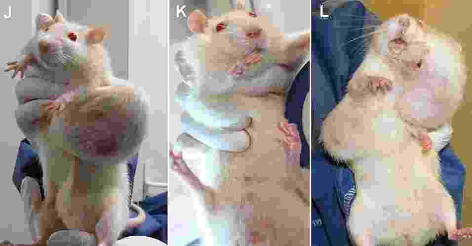19.set.2012 - A imagem mostra ratos alimentados com organismos geneticamente modificados (OGM) com tumores. Segundo estudo publicado na revista Food and Chemical Toxicology, a mortalidade das fêmeas alimentadas com esse tipo de alimento é duas ou três vezes maior em comparação as que foram comeram alimentos não alterados geneticamente. As chances de tumores nos ratos que consumiam OGM também eram de duas a três vezes superiores aos demais animais - Criigen/AFP