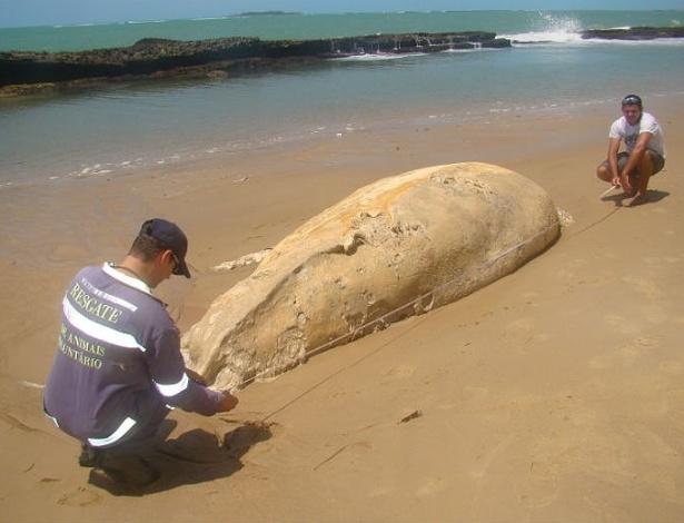 19.set.2012 - Imagem divulgada nesta terça-feira (18) mostra baleia cachalote que foi encontrada morta na última segunda-feira (17) na praia de Serrambi, no litoral de Pernambuco. A baleia media cerca de sete metros e pesava aproximadamente uma tonelada e meia. O corpo do animal foi enterrado na praia