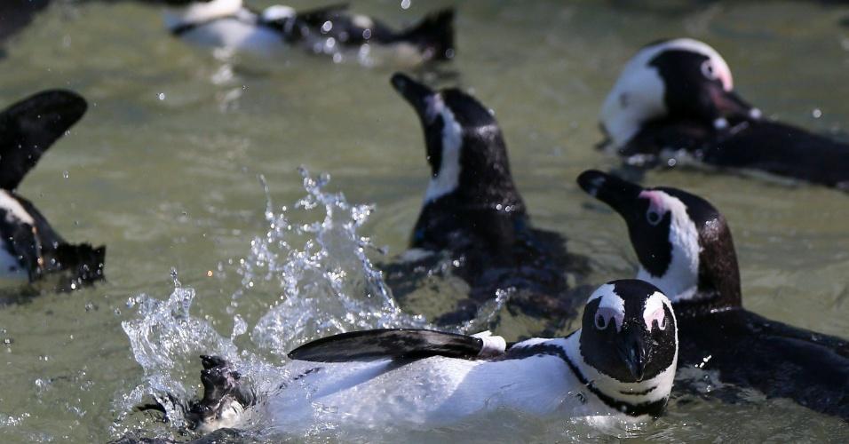 19.set.2012 - Pinguins africanos nadam em piscina de recuperação na Cidade do Cabo, na África do Sul