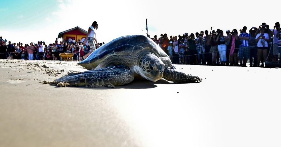 24.set.2012 - . Uma tartaruga-verde foi devolvida ao mar no domingo (23) na praia da Barra da Lagoa, em Florianópolis (SC). O animal foi tratado pelo Projeto Tamar